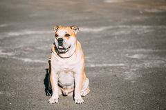 Ca de Bou or Perro de Presa Mallorquin, Molossian dog Stock Photography