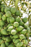 Are-ca Nut Palm On Tree Stock Image