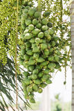 Are-ca Nut Palm On Tree. Are-ca Nut Palm tropical tree with green fruits in the nature Royalty Free Stock Photos