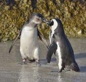 Całowanie afrykanina pingwiny Zdjęcia Royalty Free