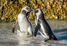 Całowanie afrykanina pingwiny Fotografia Royalty Free