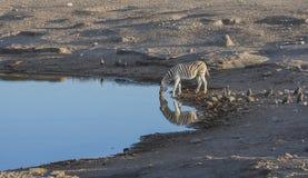 Całowanie zebry przy waterhole Zdjęcia Stock