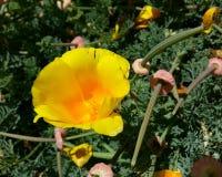 CA Poppy Flower Stock Image