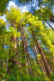 CA-Redwood National Park. The Redwoods of California are some of the oldest and largest in the world Royalty Free Stock Photography