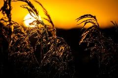 Caña común y salida del sol Imagenes de archivo