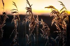 Caña común y salida del sol Imagen de archivo libre de regalías