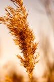 Caña secada en el invierno Fotografía de archivo libre de regalías
