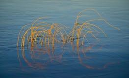 Cañas en agua Fotografía de archivo