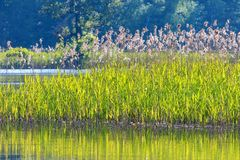 Cañas en el borde del agua Foto de archivo