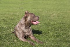 Cane Corso royalty free stock image