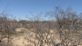 Caatinga biome: dry forest trees Petrolina, Pernambuco, Brazil. Native trees of the caatinga biome in the interior of brazil stock photography