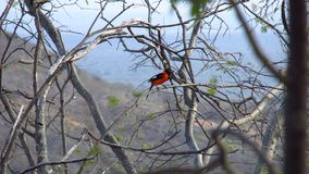 Caatinga biome: avifauna in: petrolina, pernambuco, brazil. Caatinga bird searching for food in the dried trees of the native vegetation stock images