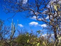 Caatinga vegetation. Mandacaru cactus in the middle of the caatinga vegetation, in northeastern Brazil Royalty Free Stock Photography