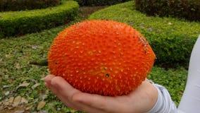 Cabaça amarga espinhoso alaranjada do fruto tailandês de Gac imagem de stock