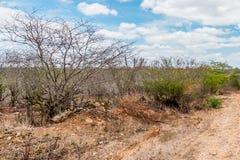 Cabaceiras, ParaÃba,巴西- 2018年2月:干陆用在Caatinga生物群系的Mandacaru仙人掌 图库摄影