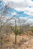 Cabaceiras, Paraíba, Brazil - February, 2018: Road to infinite with Cactus in a Caatinga Biome at Northeast of Brazil. Cabaceiras, Paraíba, Brazil royalty free stock photos