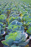 Cabage Field Rows. Farming Organic Cabbage. Cabbage on the Field Ready to Harvest. Stock Images