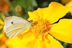 Cabagge della farfalla Fotografie Stock