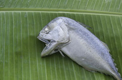 caballa cortocircuito-corpórea en la hoja del plátano Fotografía de archivo