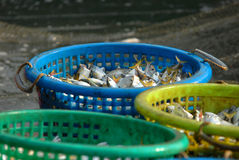 Caballa en cesta. Foto de archivo