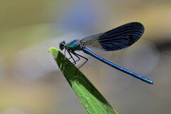 Caballito del Diablo (Zygoptera) Stock Photography