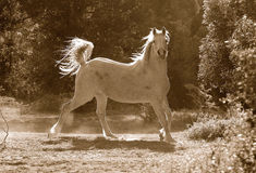 Caballo árabe Imagen de archivo