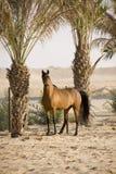 Caballo árabe Fotografía de archivo