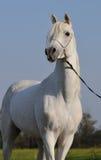 Caballo árabe blanco Imagenes de archivo