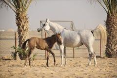 Caballo árabe blanco Imágenes de archivo libres de regalías