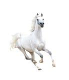 Caballo árabe blanco aislado en blanco Fotografía de archivo libre de regalías