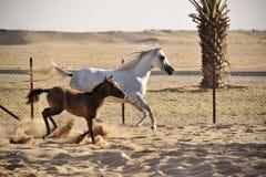 Caballo árabe blanco con el potro Foto de archivo