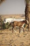 Caballo árabe blanco con el potro Foto de archivo libre de regalías