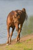 Caballo árabe cerca del agua Foto de archivo