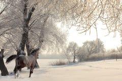 caballo árabe Dapple-gris en el movimiento en fondo del invierno foto de archivo
