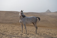 Caballo árabe delante de las pirámides Imagen de archivo libre de regalías