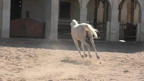 Caballo árabe Doha metrajes