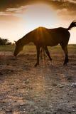 Caballo árabe en la puesta del sol Fotos de archivo