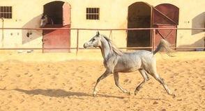Caballo árabe en un rancho arenoso imagen de archivo