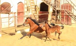 Caballo árabe en un rancho arenoso fotos de archivo