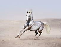 Caballo árabe que corre en desierto Fotos de archivo