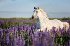 Caballo árabe que corre libremente en un prado de la flor imagen de archivo libre de regalías