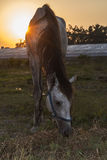 Caballo árabe que pasta la hierba en la puesta del sol Imagenes de archivo