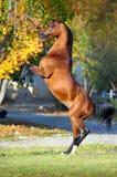 Caballo árabe que se alza para arriba en fondo del otoño Imagenes de archivo