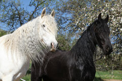 Caballo andaluz blanco con el caballo frisio negro Fotografía de archivo libre de regalías