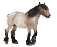 Caballo belga, caballo pesado belga, Brabancon Fotografía de archivo