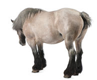 Caballo belga, caballo pesado belga, Brabancon Foto de archivo