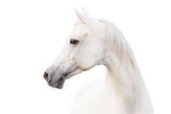 Caballo blanco árabe Imagen de archivo libre de regalías