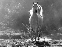 Caballo blanco árabe Imagen de archivo