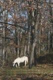 Caballo blanco Fotos de archivo