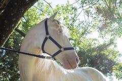 Caballo blanco Foto de archivo libre de regalías
